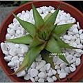 2011-10-多肉植物28.jpg