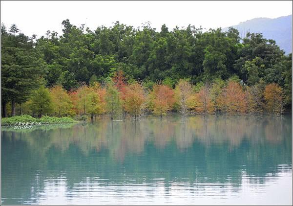 2011-10-雲山水的落羽松6.jpg
