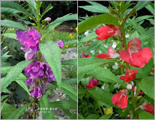 2011-11-鳳仙花14.jpg