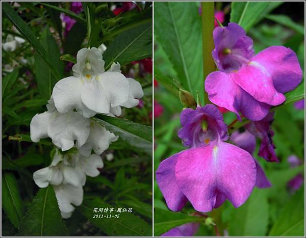 2011-11-鳳仙花15.jpg