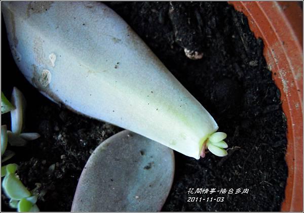 2011-11-陽台多肉8.jpg
