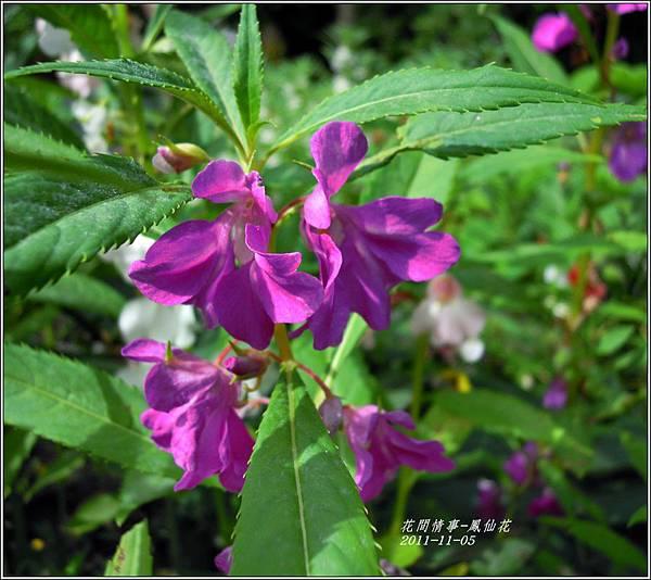 2011-11-鳳仙花2.jpg
