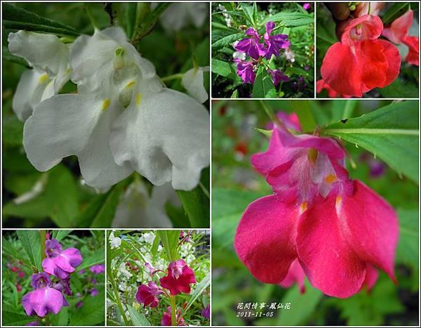 2011-11-鳳仙花16.jpg