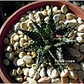 2011-11-多肉植物14.jpg