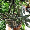 2011-11-多肉植物15.jpg