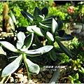 2011-11-多肉植物18.jpg