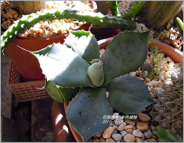 2011-11-多肉植物22.jpg