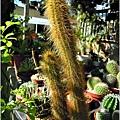 2011-11-多肉植物24.jpg