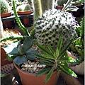 2011-11-多肉植物28.jpg