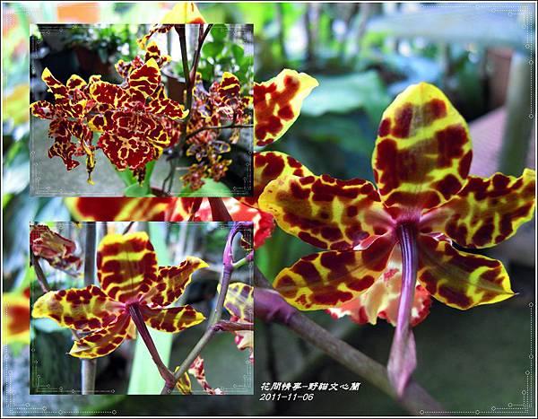 2011-11-野貓文心蘭7.jpg