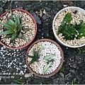 2011-11-多肉植物4.jpg