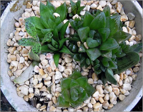 2011-11-多肉植物5.jpg