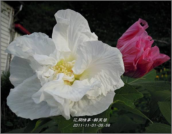 2011-11-醉芙蓉4.jpg