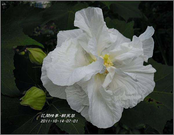 2011-11-醉芙蓉9.jpg
