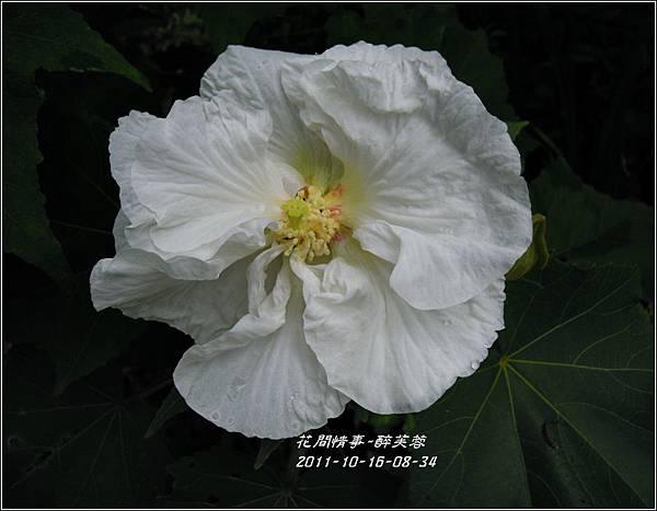 2011-11-醉芙蓉10.jpg