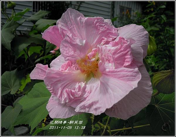 2011-11-醉芙蓉26.jpg