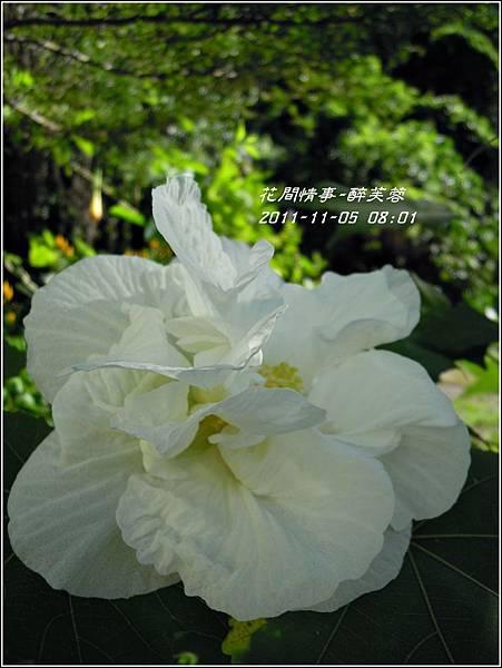 2011-11-醉芙蓉17.jpg