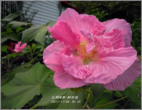 2011-11-醉芙蓉22.jpg