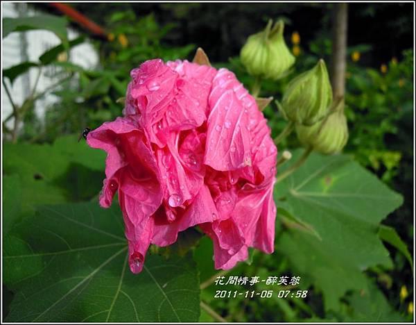 2011-11-醉芙蓉24.jpg