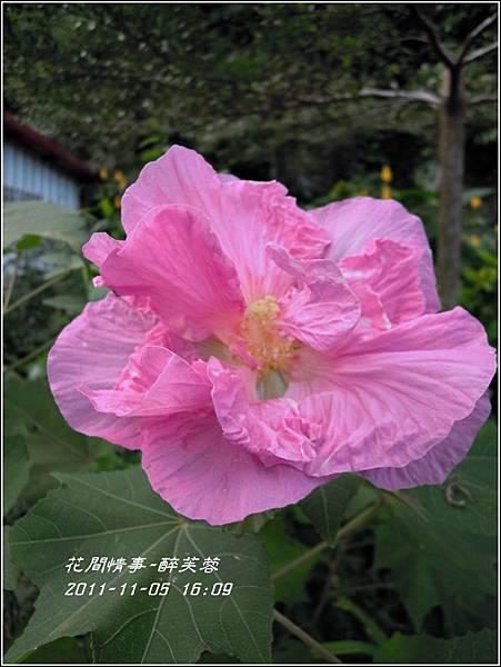2011-11-醉芙蓉25.jpg