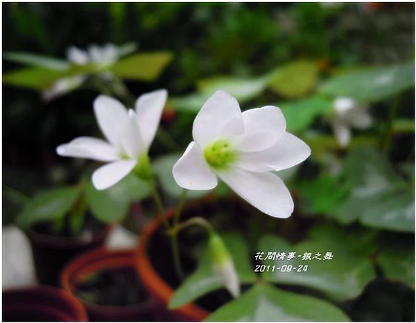 2011-11-銀之舞14.jpg
