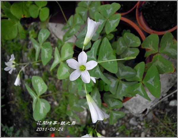 2011-11-銀之舞2.jpg