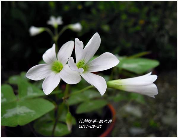 2011-11-銀之舞4.jpg