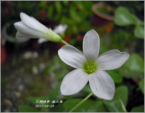 2011-11-銀之舞6.jpg