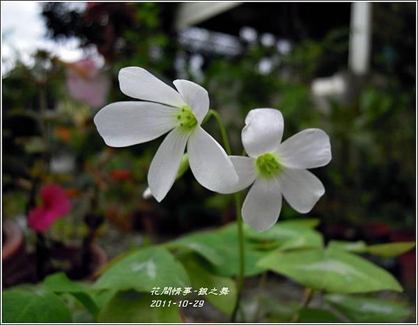 2011-11-銀之舞8.jpg