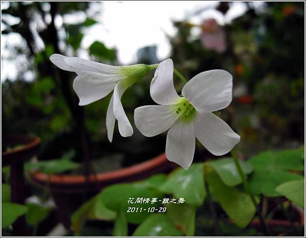 2011-11-銀之舞11.jpg