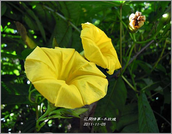 2011-11-木玫瑰4.jpg