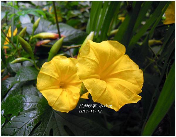 2011-11-木玫瑰11.jpg