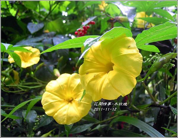 2011-11-木玫瑰12.jpg