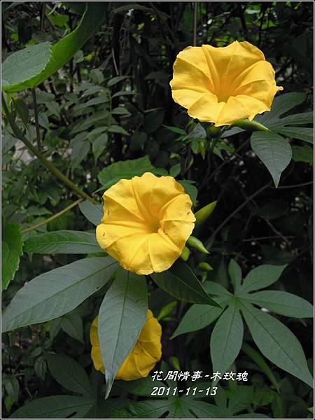 2011-11-木玫瑰20.jpg
