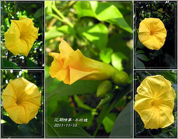 2011-11-木玫瑰22.jpg