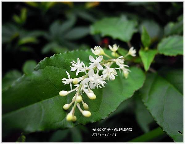 2011-12-數珠珊瑚4.jpg