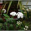 2012-04-麻葉繡球4