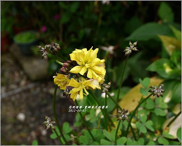 2012-04-重瓣黃花酢醬草7