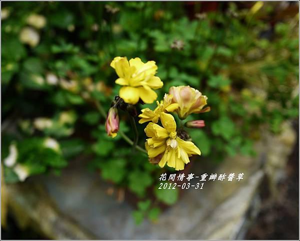 2012-04-重瓣黃花酢醬草1
