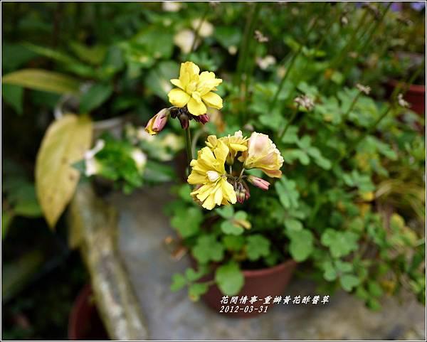 2012-04-重瓣黃花酢醬草2