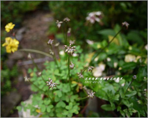 2012-04-重瓣黃花酢醬草3