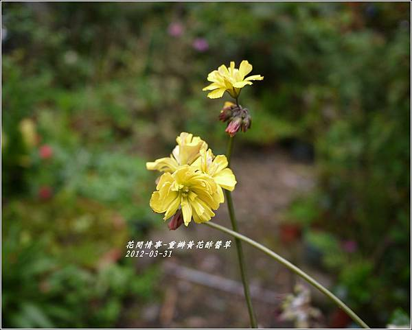 2012-04-重瓣黃花酢醬草4