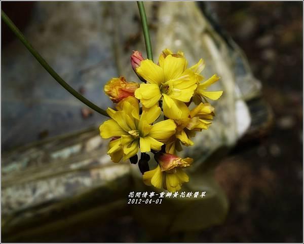 2012-04-重瓣黃花酢醬草5