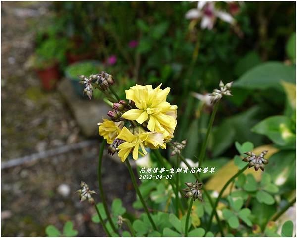 2012-04-重瓣黃花酢醬草6