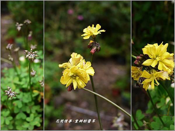 2012-04-重瓣黃花酢醬草8