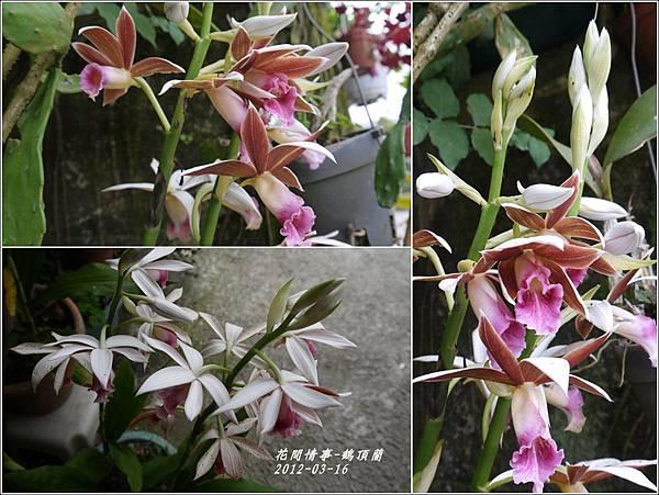 2012-04-鶴頂蘭2