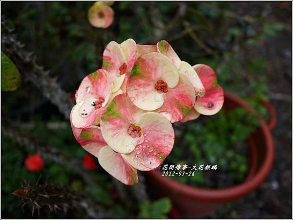 2012-04-大花麒麟花1