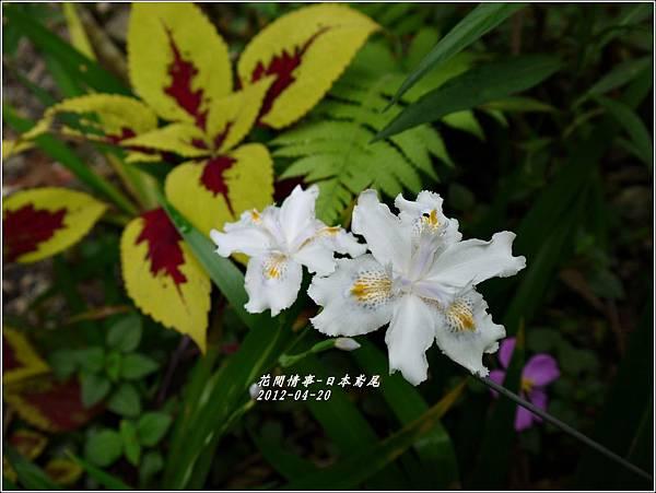 2012-04-日本鳶尾1