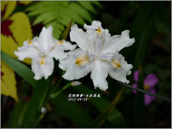2012-04-日本鳶尾2
