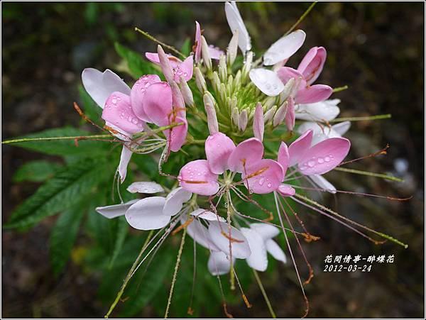 2012-04-醉蝶花1